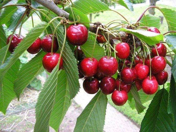 Come coltivare una pianta di ciliegio